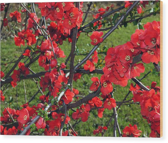 Red Cherry  Wood Print