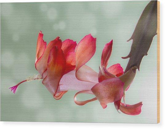 Red Christmas Cactus Bloom Wood Print