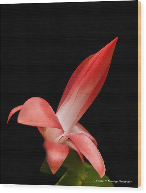 Red Christmas Cactus Wood Print