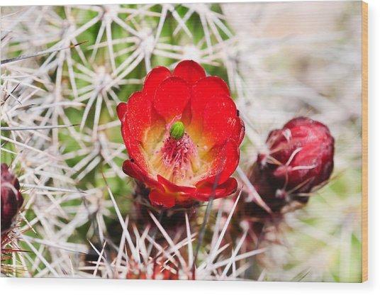 Red Claret Cup Cactus Wood Print