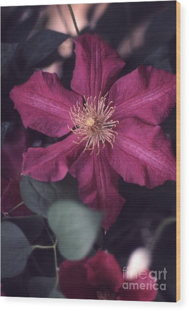 Red Clematis  133 Wood Print by Stephen Parker
