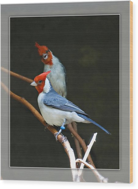 Red-crested Cardinal Wood Print