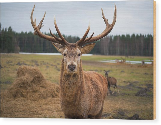 Red Deer Stag Protecting Its Fawn Wood Print by Boris Sv