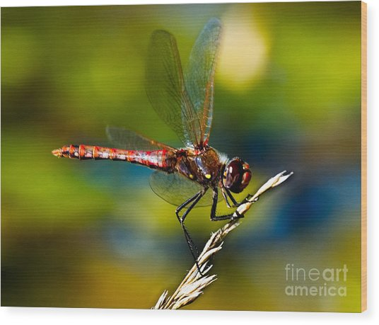 Wood Print featuring the photograph Red Dragonfly by Mae Wertz