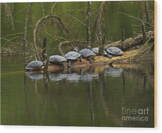 Red-eared Slider Turtles Wood Print