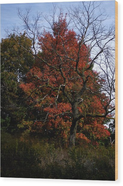 Red Fall Maple Tree Wood Print by Michel Mata