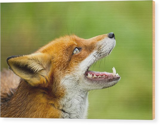 Red Fox - Vulpes Vulpes Wood Print by George Cox