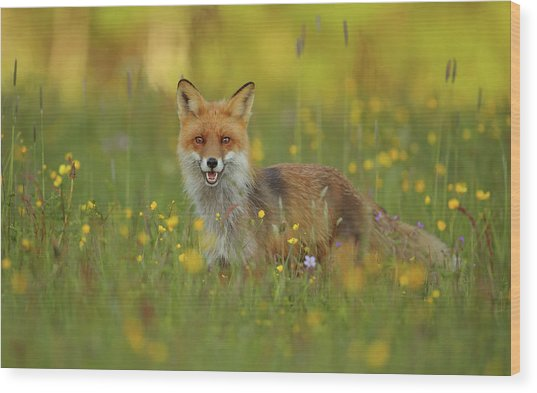 Red Fox Wood Print by Assaf Gavra