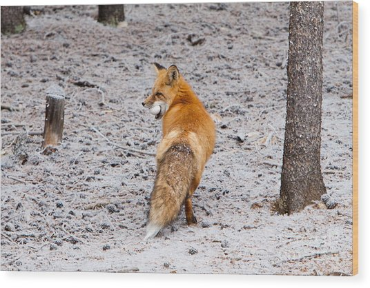 Red Fox Egg Thief Wood Print