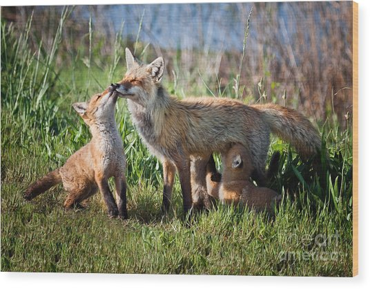 Red Fox Family Wood Print
