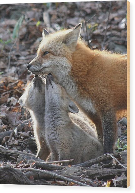 Red Fox Kits And Parent Wood Print
