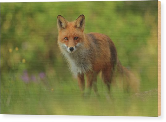 Red Fox Lady Wood Print by Assaf Gavra