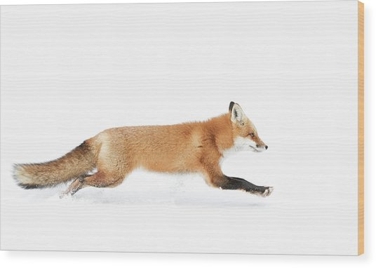 Red Fox On The Run - Algonquin Park Wood Print
