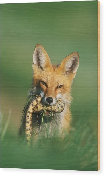 Red Fox With Snake Wood Print