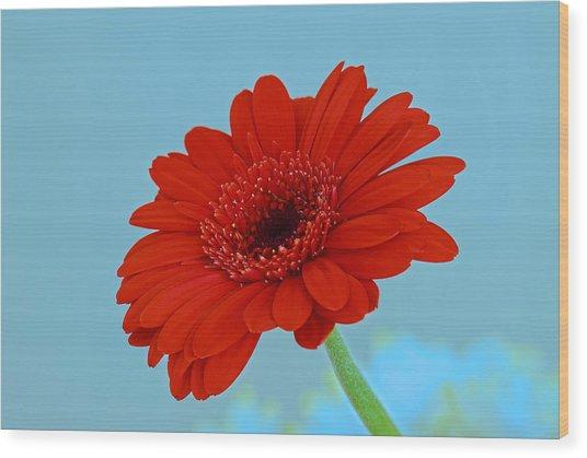 Red Gerbera Daisy Wood Print