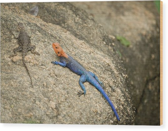 Red-headed Rock Agama Wood Print by Photostock-israel