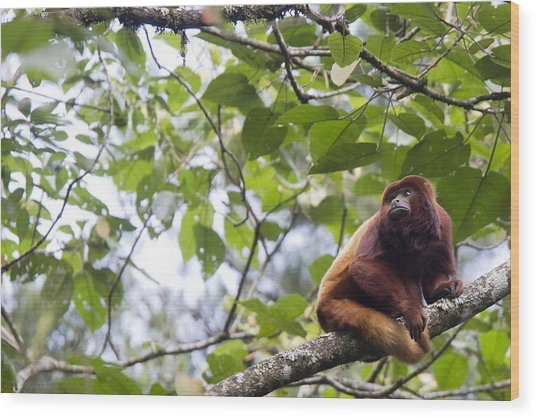 Red Howler Monkey Sitting In A Tree Wood Print