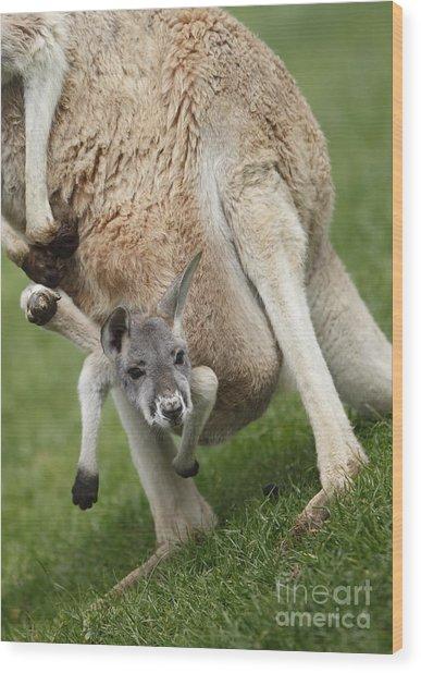 Red Kangaroo Joey Wood Print