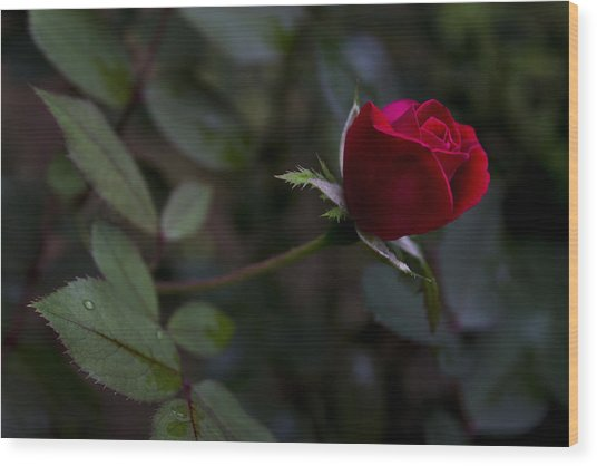 Red Knockout Rose Wood Print