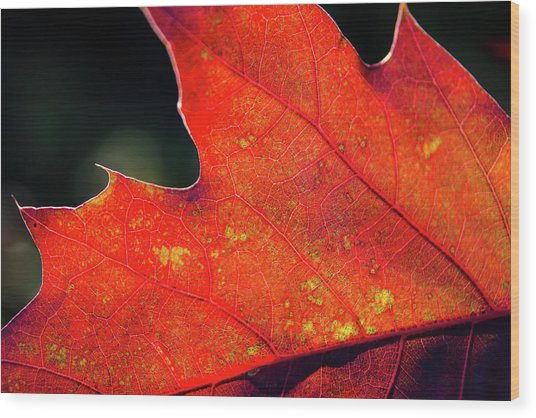Red Leaf Rising Wood Print by Joe Martin A New Hampshire Portrait Photographer