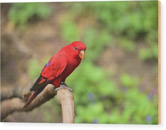 Red Lory Wood Print