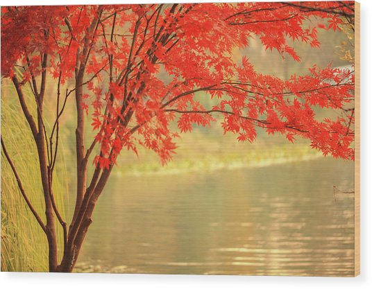 Red Maple Besides River Wood Print by Uschools