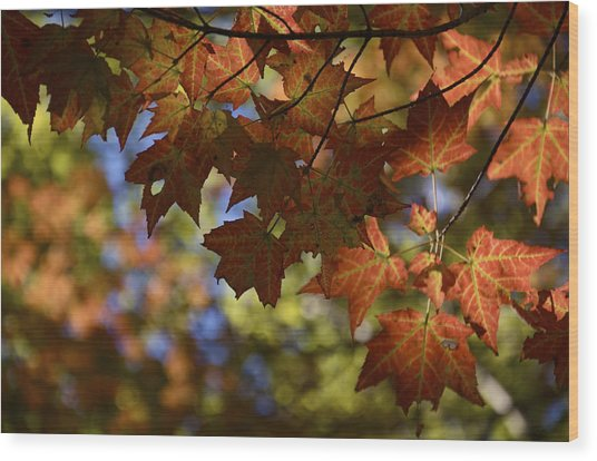 Red Maple Canopy Wood Print