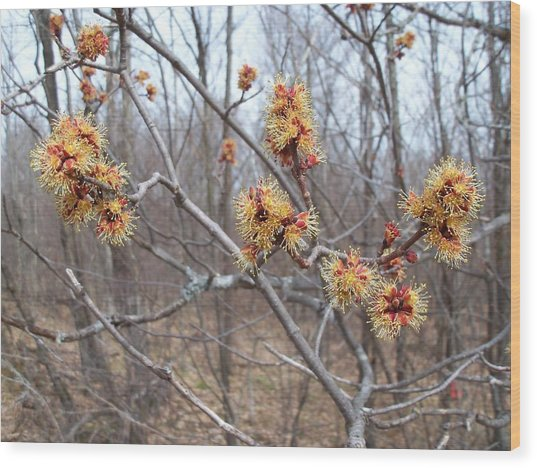 Red Maple In Flower Wood Print