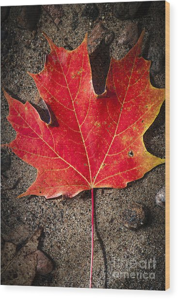 Red Maple Leaf In Water Wood Print