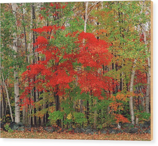 Red Maple Tree And White Birch Trees In Wood Print