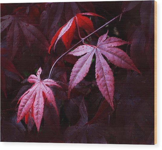 Red Maple Trio Wood Print
