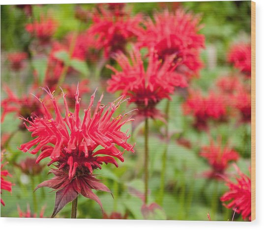 Red Monarda Wood Print by Rob Huntley