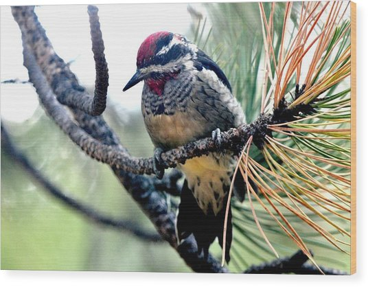Red-naped Sapsucker On Pine Tree Wood Print