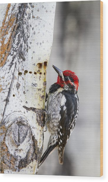 Red-naped Sapsucker Wood Print