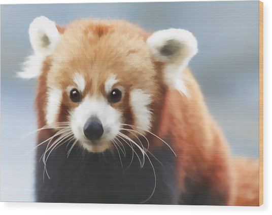 Red Panda Staring Wood Print