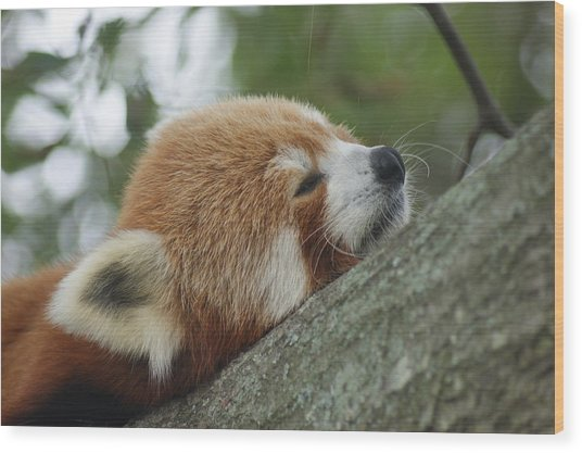 Red Panda Zen Wood Print by Leigh Ann Hartsfield