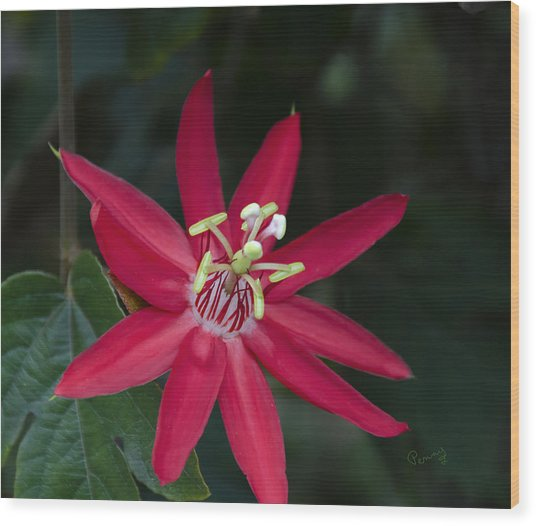 Red Passion Flower Wood Print