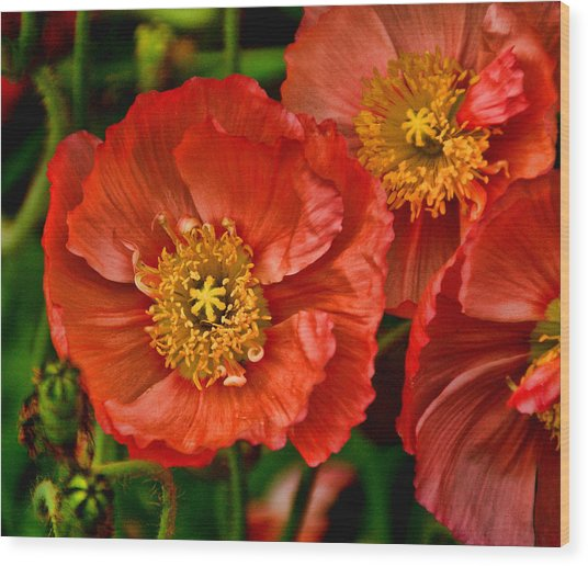 Red Poppies At Fort Worth Botanic Gardens Wood Print
