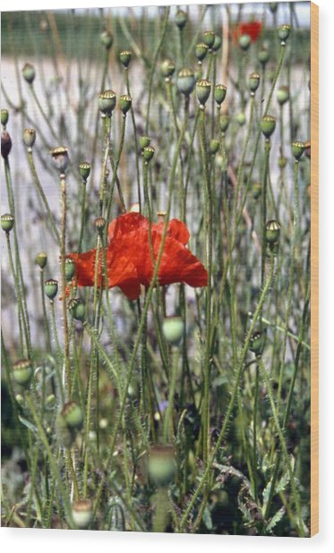 Red Poppy And Buds Wood Print