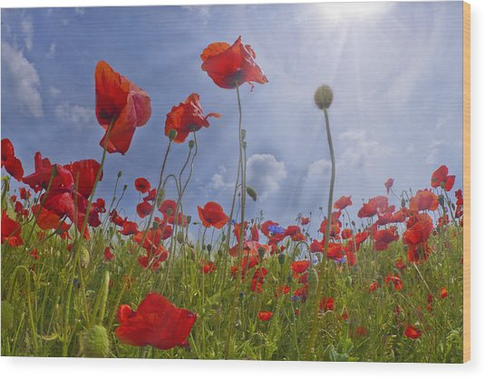 Red Poppy And Sunrays Wood Print