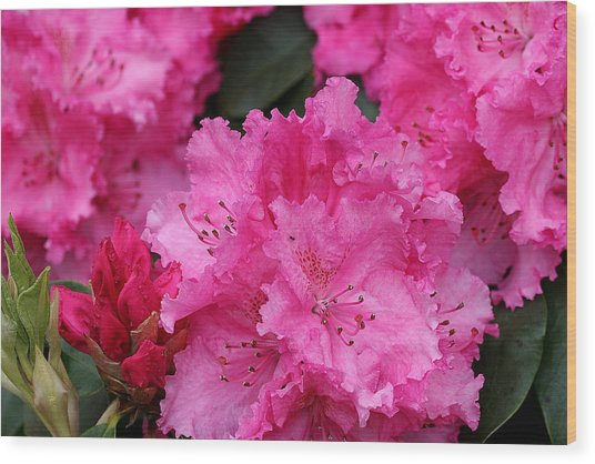 Red Rhododendrons Wood Print