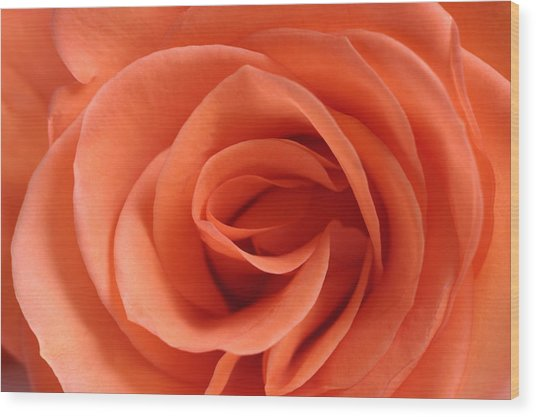 Red Rose Floribunda Closeup Wood Print