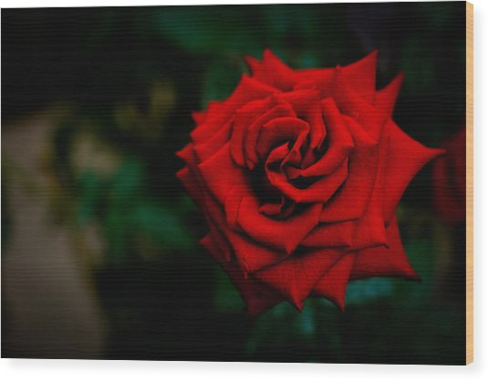 Red Rose Singapore Flower Wood Print by Donald Chen
