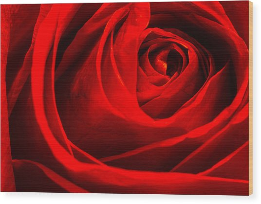 Red Rose Wood Print by Zev Steinhardt