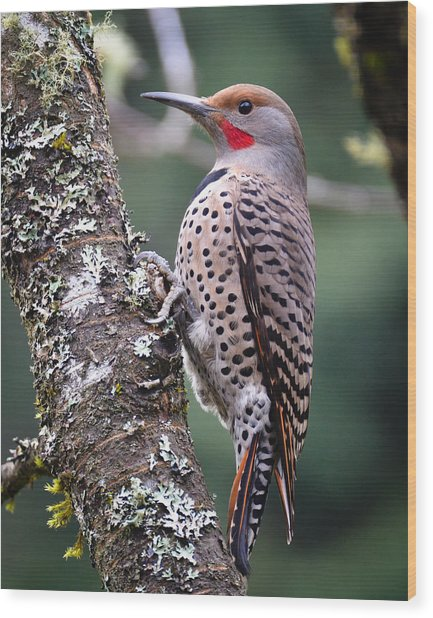 Red Shafted Flicker Vi Wood Print by Ronda Broatch