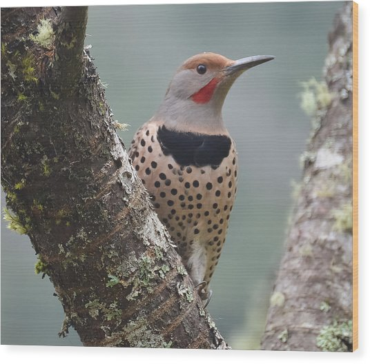 Red Shafted Flicker Viii Wood Print