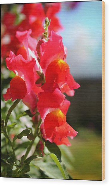 Red Snapdragons II Wood Print by Aya Murrells