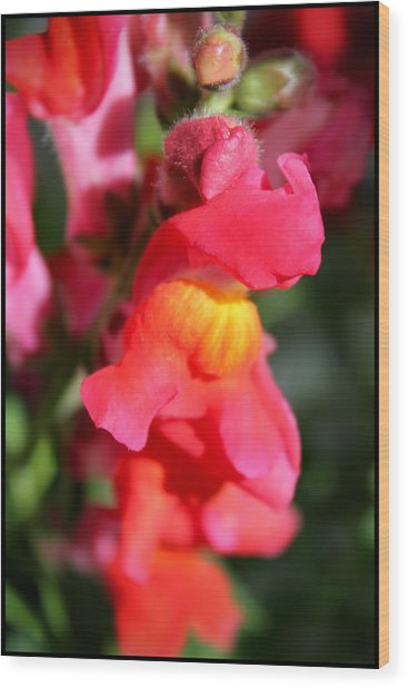 Red Snapdragons IIi Wood Print by Aya Murrells
