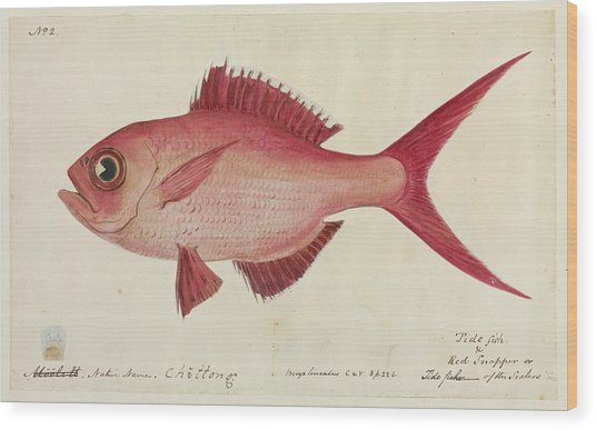 Red Snapper Fish Wood Print by Natural History Museum, London/science Photo Library