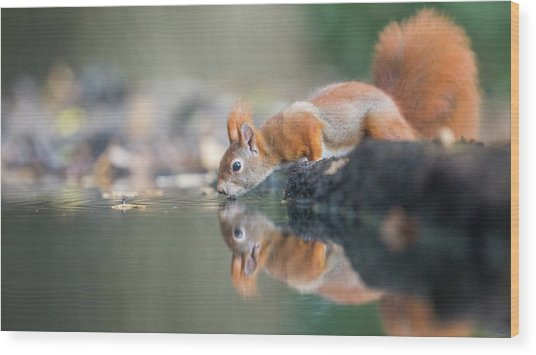 Red Squirrel Wood Print by Erik Willaert